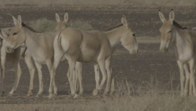 Onagers Walking And Standing In A Dessert