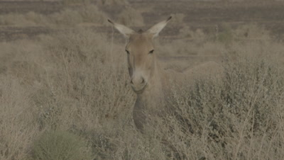 Onager Grazes On Desert Scrub