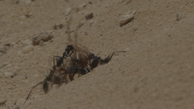 Ants Struggle To Move Larger Dead Sun Spider Over Sand
