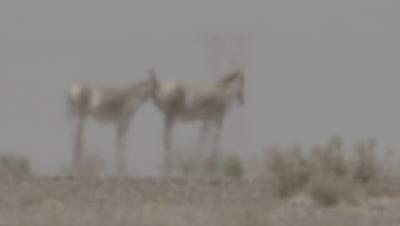 Pair of Onagers,Wild Ass Behind Heat haze