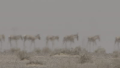 Herd of Onagers,Wild Ass Behind Heat haze