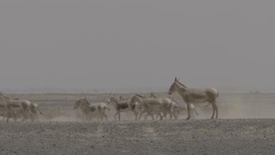Herd Of Onager Running In Desert