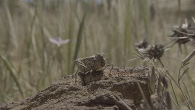 Locust or Grasshopper on Desert Rock,flies Away