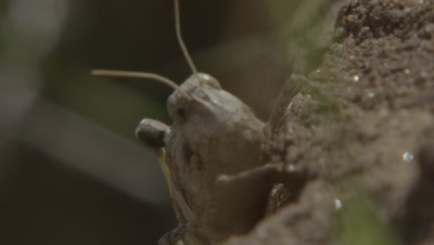Close Up of Locust or Grasshopper