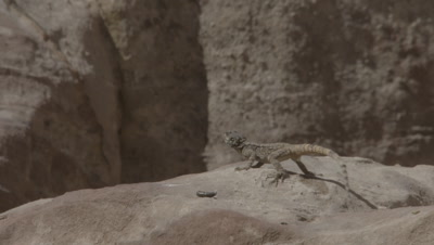Agama Lizard Defecates on Sandstone Structures of Ancient City of Petra