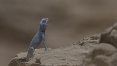 Blue Agama Lizard Stands Upright on Sandstone rocks in Petra