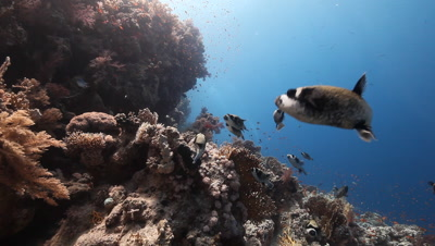 Travel over reef to small school Of Masked Puffer Fish