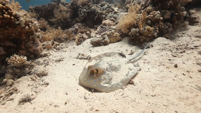 Blue Spotted Stingray on Sand Bottom,Swims Away