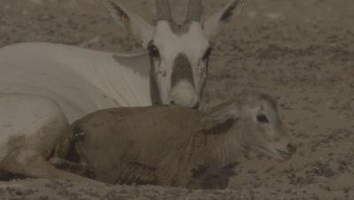 Arabian Oryx Eats Placenta After Giving Birth