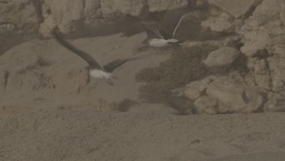 Birds,Possibly Seagulls,Hover over Turtle Nesting Beach