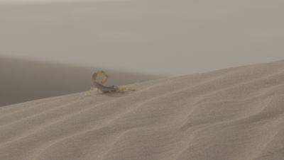 Scorpion On Desert Sand Dune,Sticks Tail Up