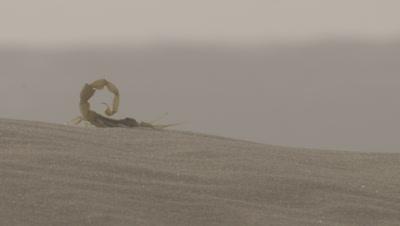 Scorpion Scuttles Across Desert Sand Dune