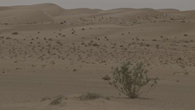 Camel Grazes in the Desert