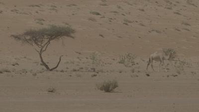 Camel Walks in the Desert