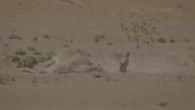 Camel Takes Dust Bath in the Desert