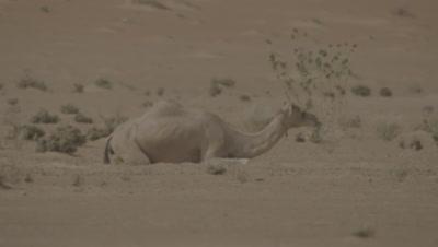 Camel rests in the Desert