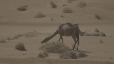 Camels in Desert,One Grazes and One Rests
