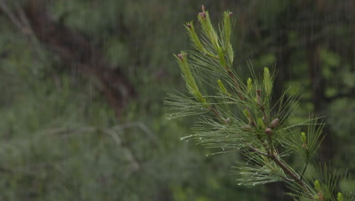 Close-Up Of Pine Branch During Rain