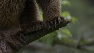 Bear Climbing A Pine Tree During Rain