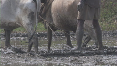 Farmer Plowing His Field,Stands on Plow Behind Cattle