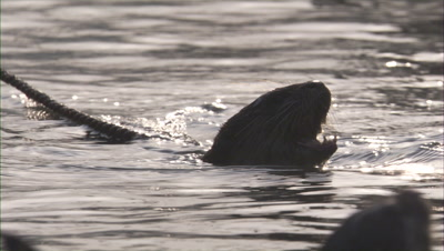 Otters Trained,Used for Traditional Fishing,Tied with Rope