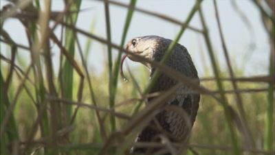 Indian Cobra Hides in Grass,Farm Crop Field,Strikes