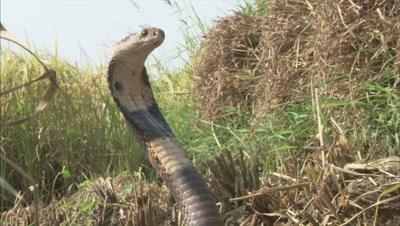 Indian Cobra Upright in Grass,Farm Crop Field