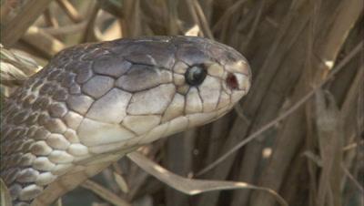 Indian Cobra Hides in Grass,Farm Crop Field