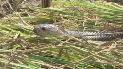 Indian Cobra Crawls in Grass,Farm Crop Field