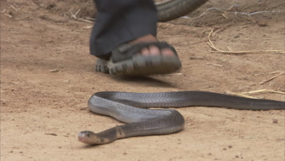 Snake Moves Close to people in Village Known for Snakes Living Among Villagers