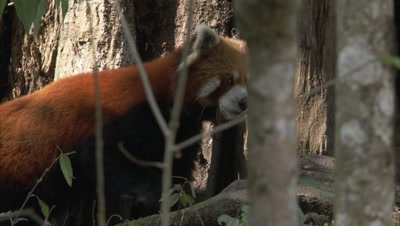Red Pandas Walks in Zoo Forest
