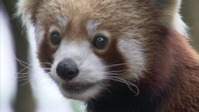 Red Panda Walks in Zoo Forest,Portrait