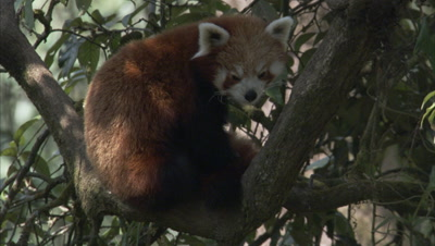 Red Panda Rests In Tree at Zoo