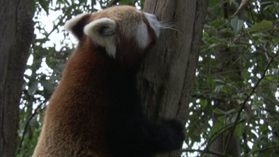 Red Panda Climbs Up Tree,Forest in Zoo