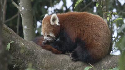 Red Panda In Tree,Grooming