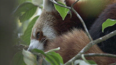 Red Panda Rests in Tree