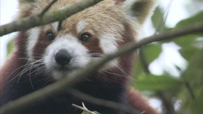 Close Up Of Red Panda Grooming