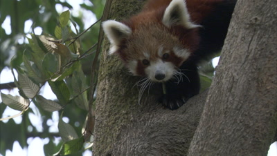 Red Panda Climbing Down A Tree