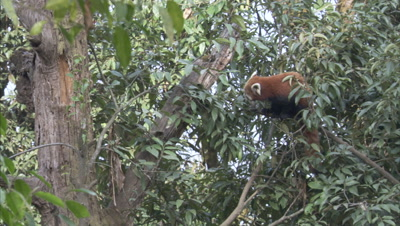 Red Panda Climbs in Trees,Forest in Zoo