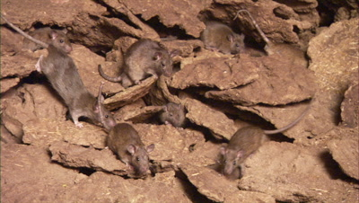 Rats Crawl on Pile of Cow Dung