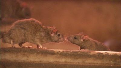 Rats At Karni Mata Temple In Rajasthan