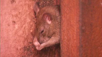 Rat Grooming Himself At Karni Mata Temple In Rajasthan