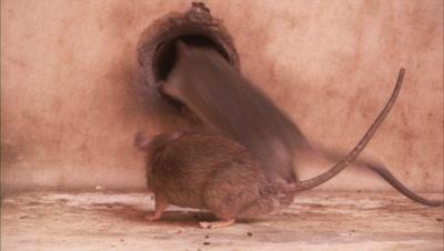 A Pair Of Rats Playing At Karni Mata Temple In Rajasthan