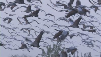 Huge Flock Demoiselle Cranes Take Off
