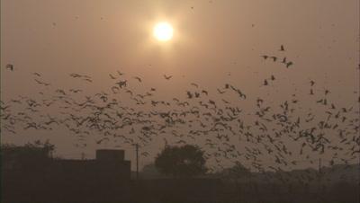 Demoiselle Cranes Fly Above Kichan Village Rajasthan