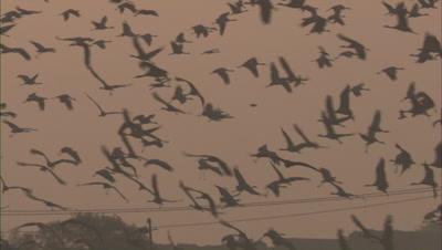 Demoiselle Cranes Fly Above ,Kichan Village,Rajasthan