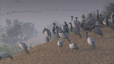 Flock of Demoiselle Cranes Rest On Land,Others fly in distance