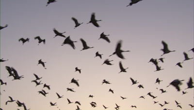 Demoiselle Cranes Fly in morning or evening sky