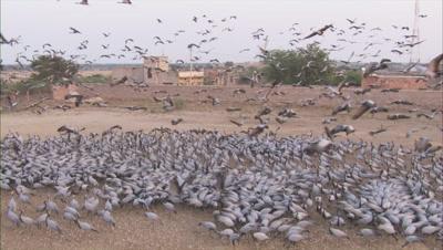 Demoiselle Cranes Land in Huge Flock In Kichan Village,Rajasthan
