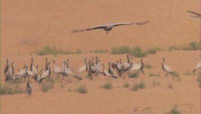 Demoiselle Cranes Land on Desert Sand